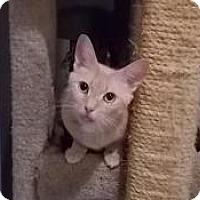 Adopt A Pet :: nubit - Centreville, VA