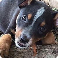 Adopt A Pet :: Dylan Thomas - Austin, TX