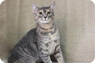 Domestic Shorthair Kitten for adoption in Midland, Michigan - Spinner - $10!