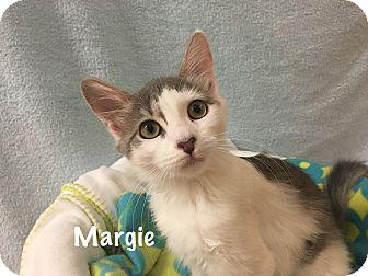 Domestic Mediumhair Kitten for adoption in Foothill Ranch, California - Margie