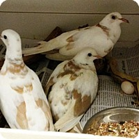 Adopt A Pet :: DOVES - DeLand, FL
