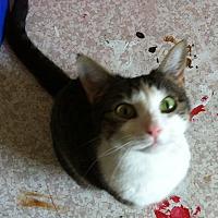Adopt A Pet :: Gemini - St. Louis, MO