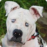 American Bulldog Dog for adoption in Wenonah, New Jersey - Crystal