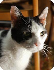 Domestic Shorthair Cat for adoption in Medford, Massachusetts - Lance