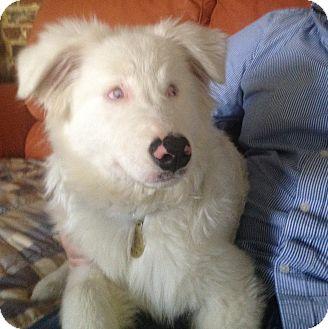 Australian Shepherd/Shepherd (Unknown Type) Mix Dog for adoption in Richmond, Virginia - Jeremy