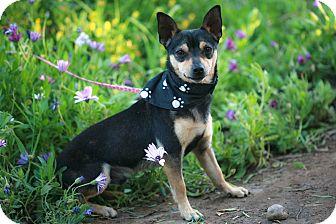 Miniature Pinscher/Chihuahua Mix Dog for adoption in El Cajon, California - IKER