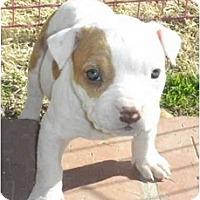 Adopt A Pet :: Miss Piggy - Mesa, AZ