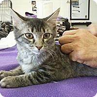 Adopt A Pet :: Silky - Bunnell, FL