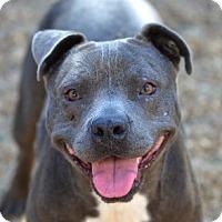 Adopt A Pet :: Pepsi - Garland, TX