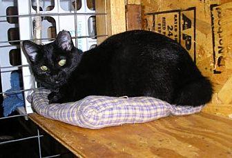 Manx Cat for adoption in Eldora, Iowa - Bobbi Jo-Manx