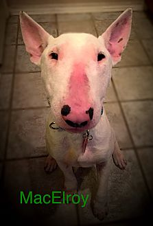 Bull Terrier Dog for adoption in Dallas, Texas - MacElroy