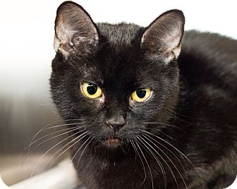 Domestic Shorthair Cat for adoption in Seville, Ohio - Ms Demeanor