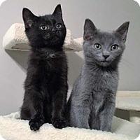 Adopt A Pet :: Coffee - Merrifield, VA
