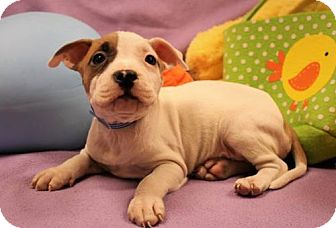 Pit Bull Terrier Puppy for adoption in Modesto, California - Capricorn