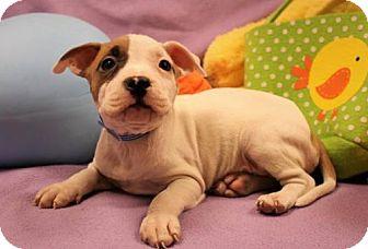 Pit Bull Terrier Puppy for adoption in Modesto, California - Capricorn