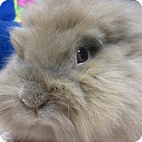 Jersey Wooly Mix for adoption in Newport, Delaware - Saylor