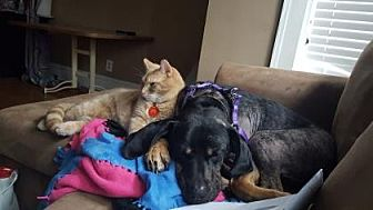 Coonhound Mix Dog for adoption in Chicago, Illinois - Dorothy