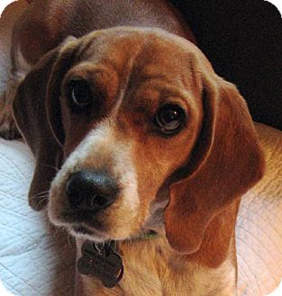 Beagle Dog for adoption in Houston, Texas - Mona