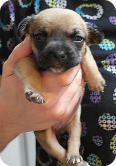 German Shepherd Dog Mix Puppy for adoption in Seneca, South Carolina - Fredrick