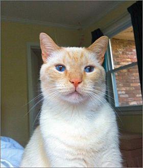 Siamese Cat for adoption in Atlanta, Georgia - Jackson
