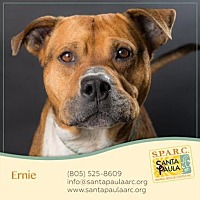 American Staffordshire Terrier Mix Dog for adoption in Santa Paula, California - Ernie