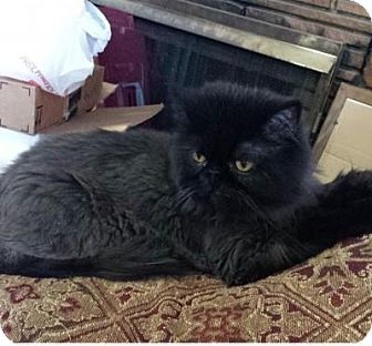 Persian Cat for adoption in Beverly Hills, California - Luna