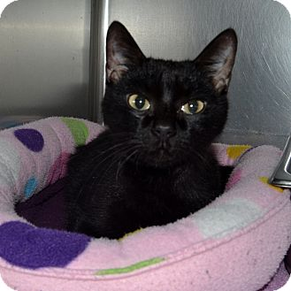 Domestic Shorthair Cat for adoption in Wheaton, Illinois - Maxie