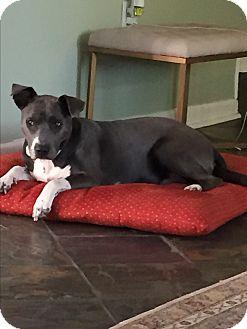 Weimaraner/Husky Mix Dog for adoption in Moosup, Connecticut - DELTA