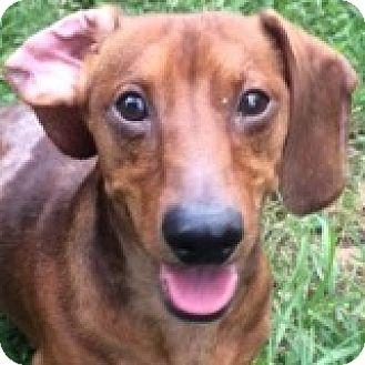 Dachshund Dog for adoption in Houston, Texas - Randy Rolltide