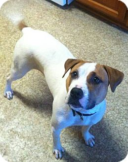 American Bulldog Mix Dog for adoption in Woodbridge, Virginia - Bella