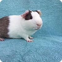 Guinea Pig for adoption in Imperial Beach, California - Jasper