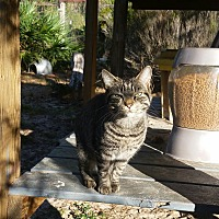 Domestic Shorthair Cat for adoption in Bronson, Florida - Clyde