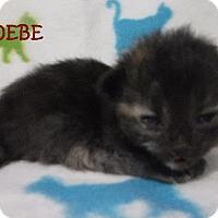 Adopt A Pet :: Phoebe - Batesville, AR