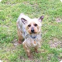Adopt A Pet :: Bruno - Little Rock, AR