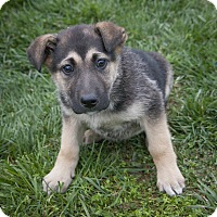 Adopt A Pet :: Sable - Bedford, IN