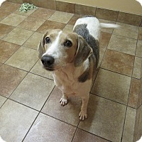 Adopt A Pet :: Honey *Petsmart GB* - Appleton, WI