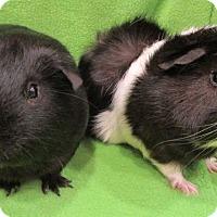 Adopt A Pet :: Chapo - Steger, IL