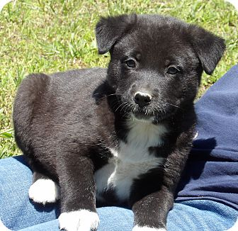 Akita/Australian Shepherd Mix Puppy for adoption in Sussex, New Jersey - Patriot (6 lb) Video