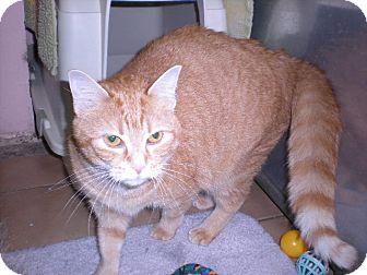 """Domestic Shorthair Cat for adoption in New Castle, Pennsylvania - """" Faith """""""