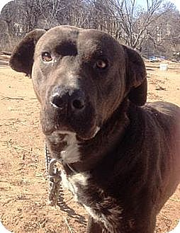 American Pit Bull Terrier/Labrador Retriever Mix Dog for adoption in Blanchard, Oklahoma - Charlie