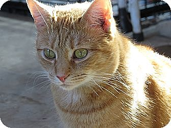 Domestic Shorthair Cat for adoption in Unionville, Pennsylvania - Colleen