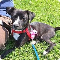 Adopt A Pet :: Pride - West Los Angeles, CA