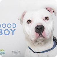 Pit Bull Terrier Dog for adoption in Camarillo, California - *CHANCE