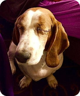 Basset Hound Dog for adoption in Spring City, Tennessee - Nya:loves petting! (PA)