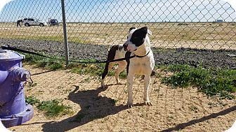 Pit Bull Terrier Mix Dog for adoption in California City, California - Angel