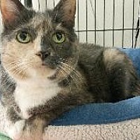 Domestic Shorthair Cat for adoption in Queenstown, Maryland - Hazel