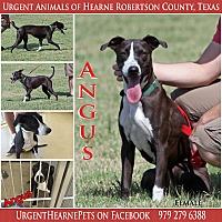 Border Collie/Labrador Retriever Mix Dog for adoption in Hearne, Texas - Angus