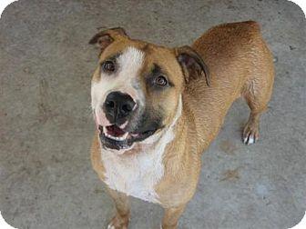 Boxer/American Bulldog Mix Dog for adoption in Orange Lake, Florida - Carly Sue