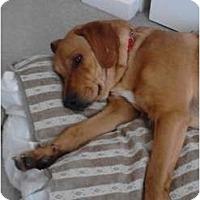 Adopt A Pet :: Scooby - Covington, KY