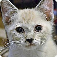 Adopt A Pet :: Wampa - Brooklyn, NY